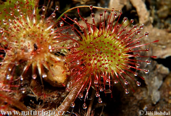 Common Sundev (Drosera rotundifolia)