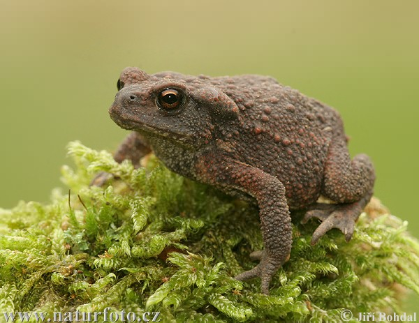 Amphibians Toads Common Toad Pictures, ...