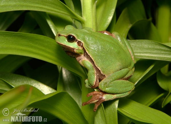 http://www.naturephoto-cz.com/photos/others/common-tree-frog-9282.jpg