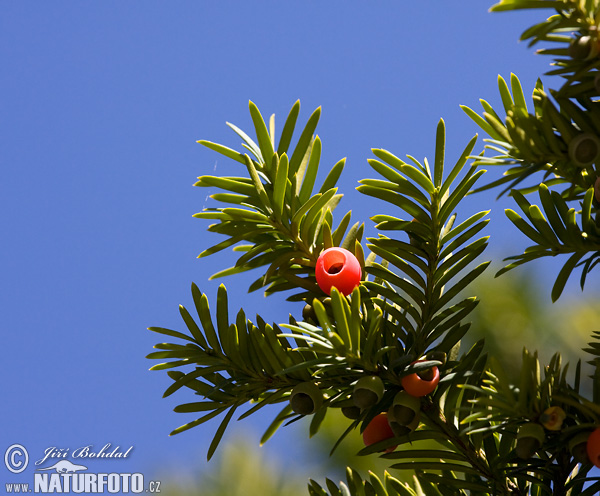 Common Yew (Taxus baccata)