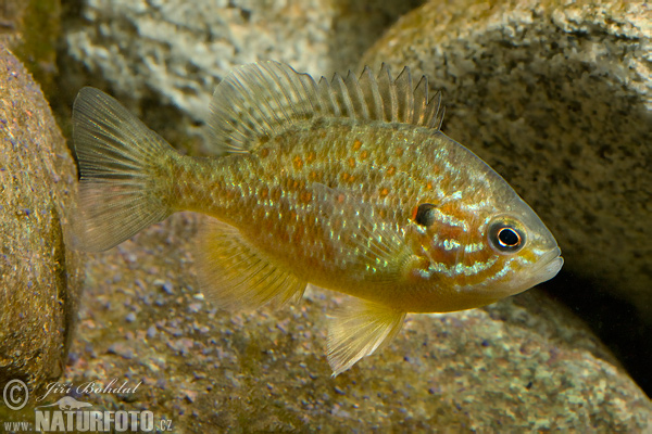 Crappie Pumpkinseed Pond Perch (Lepomis gibbosus)