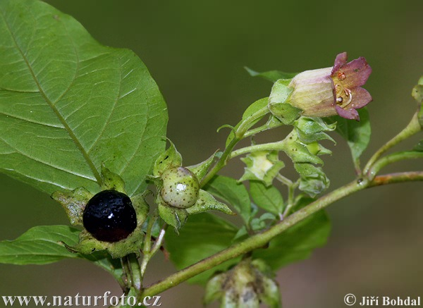 Deadly Nightshade (Atropa bella-donna)
