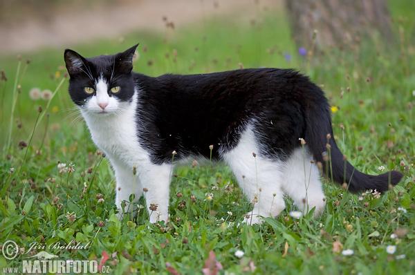Domestic cat felis silvestris f catus