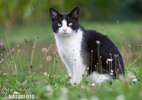 Domestic Cat (Felis silvestris, f. catus)