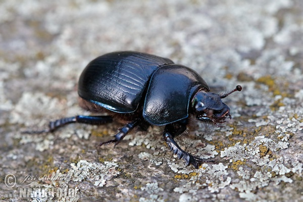 Dung Beetle (Anoplotrupes stercorosus)
