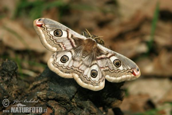Eudia pavonia