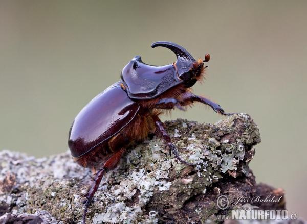 [Image: european-rhinoceros-beetle-61846.jpg]