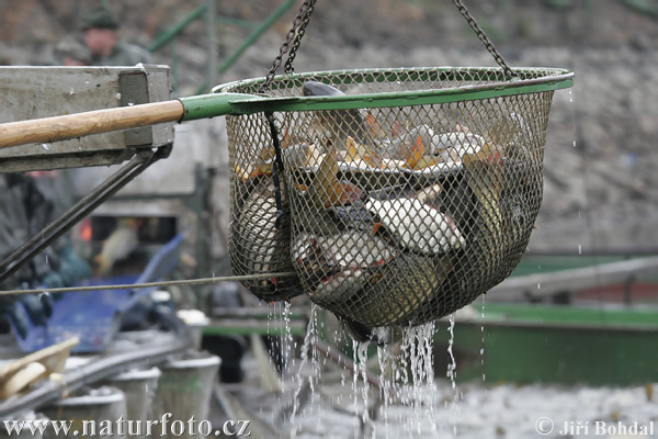 Fish harvest (Bezdrev)
