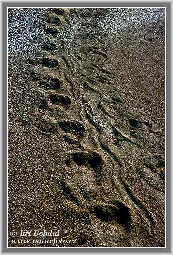 Footstep by Sea Turtle (Orbita caretta)