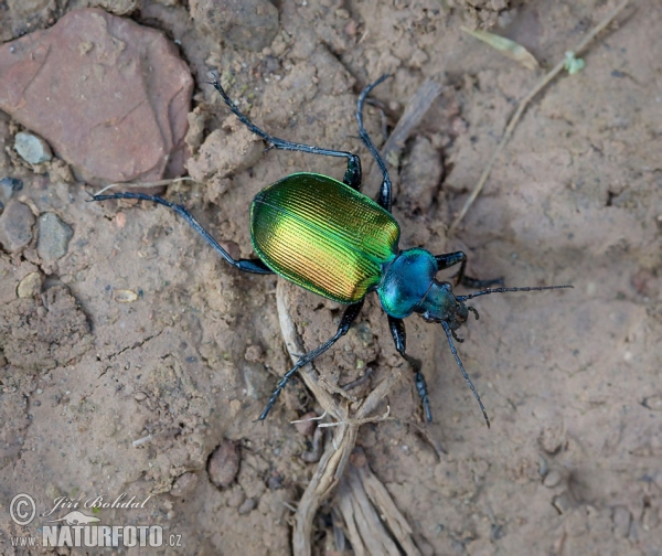 Forest Caterpillar Hunter (Calosoma sycophanta)