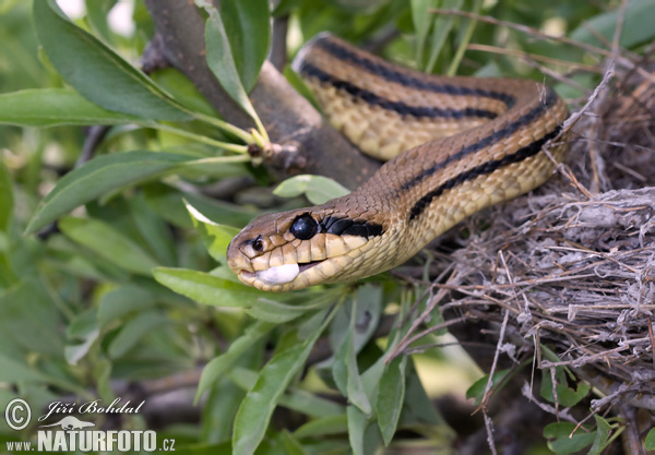 Four-lined Ratsnake (Elaphe quatuorlineata)