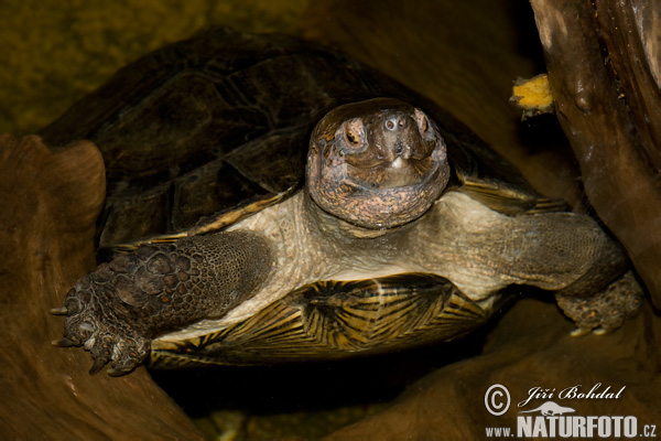 Giant Asian Pond Turtle (Heosemys grandis)