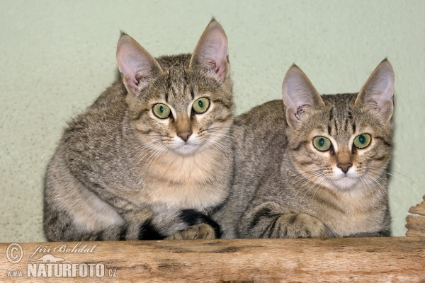 Gordon's Wild Cat (Felis silvestris gordoni)