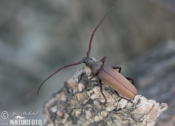 Grain Support Beetle (Megopsis scabricornis)