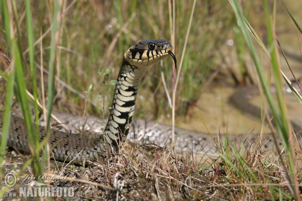 Grass Snake Photos, Grass Snake Images | Photobank NaturePhoto-