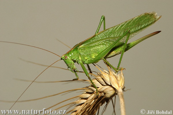 Great Green Bush-cricked (Tettigonia viridissima)