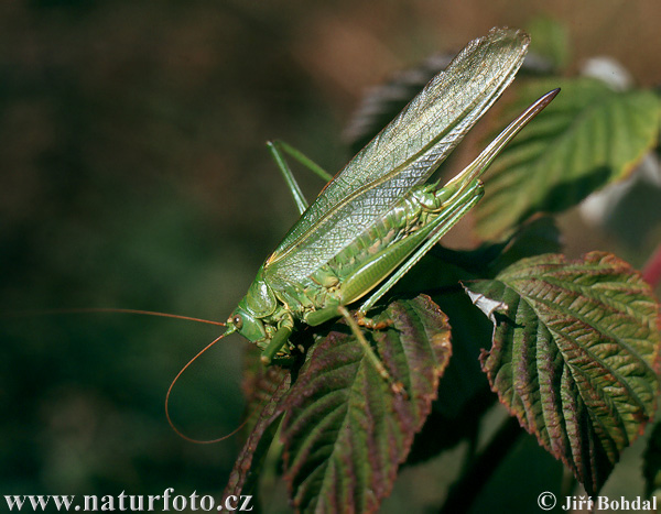 Great Green Bush- cricked (Tettigonia viridissima)