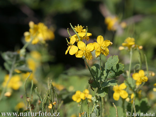 Greater Celandine Photos, Greater Celandine Images | Photobank ...