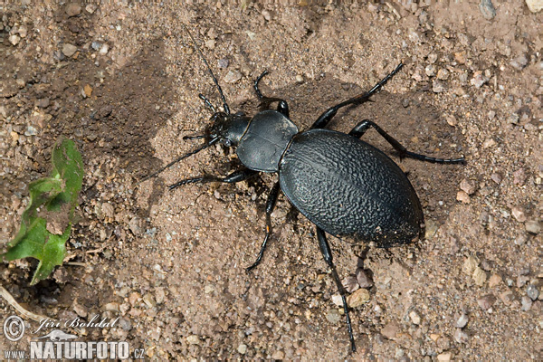 Ground Beetle (Carabus coriacerus)