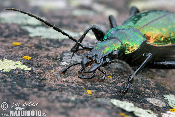 Ground Beetle (Carabus rutilans)