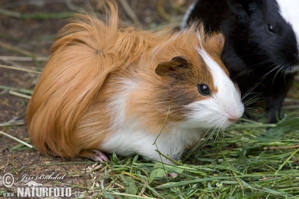 sono molto stanca stasera, ma un amichetto per farvi compagnia ve lo lascio dans animali ed animaletti guinea-pig-40425