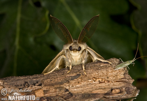 Gypsy Moth (Lymantria dispar)