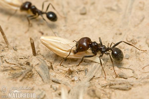 Harvester ants - photo#3