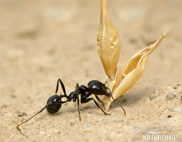 Harvester Ant (Messor structor)