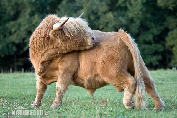 Highland Cattle (Bos primigenius f. taurus)