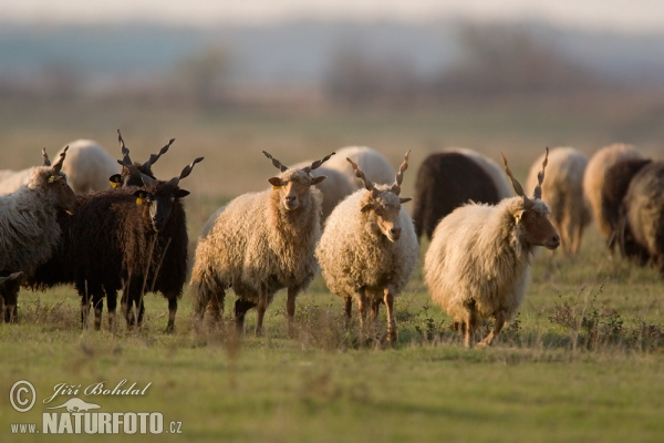 Hungarian Screw-horned Sheep (Ovis orientalis aries)