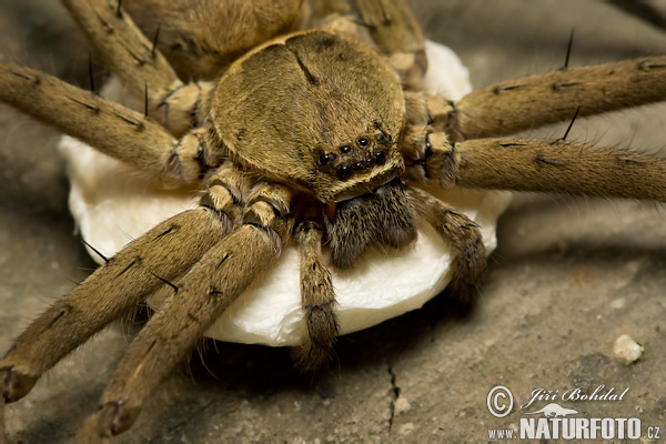 Huntsman Spider (Sparassidae sp.)