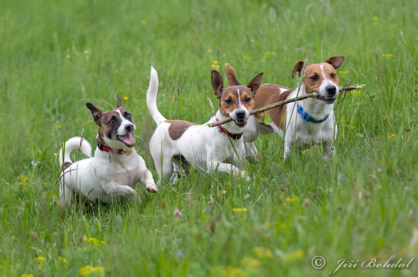 Jack Russell Terrier (Canis lupus familiaris)