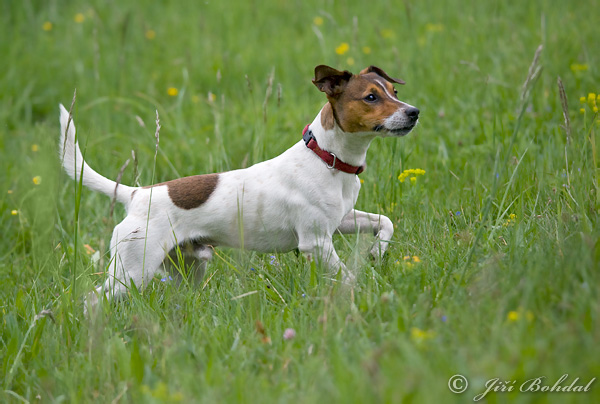 Jack russell terrier pictures jack russell terrier images