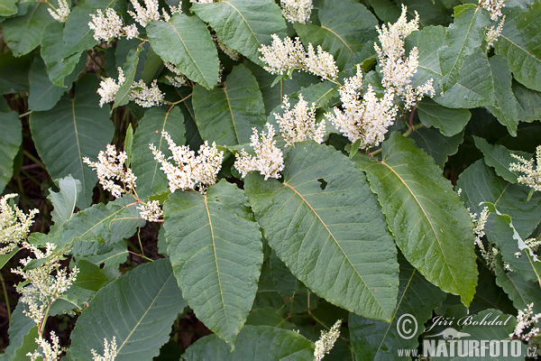 Knotweed (Reynoutria)