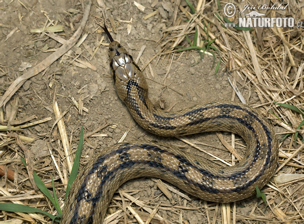 Ladder Snake (Elaphe scalaris)
