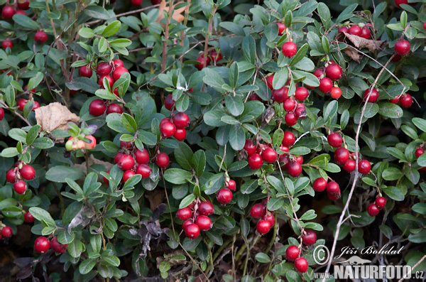 Lingonberry, cowberry, foxberry, mountain cranberry, csejka berry, red whortleberry, lowbush cranberry, mountain bilberry, partridgeberry (Vaccinium vitis-idaea)