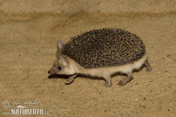 Long-eared Hedgehog (Hemiechinus auritus)
