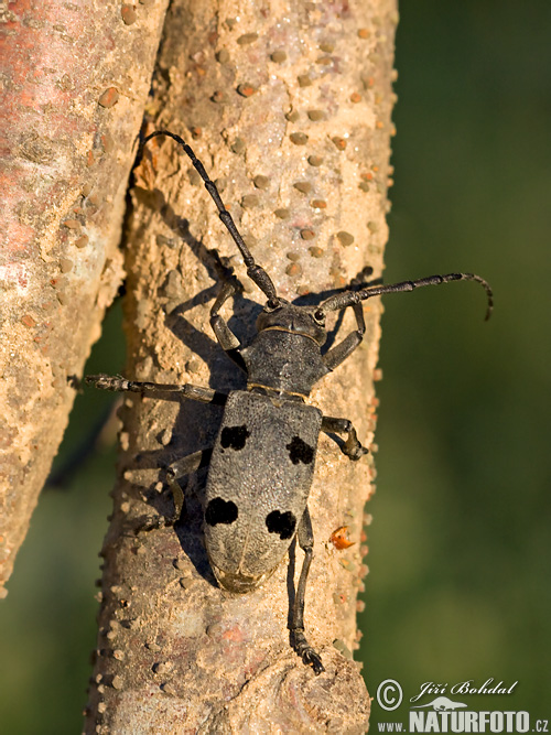 Long Horned Beetle (Morimus funereus)