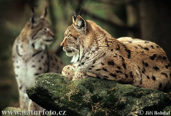 Lynx (ho fatto tardi stasera, vi piacciono questi bei