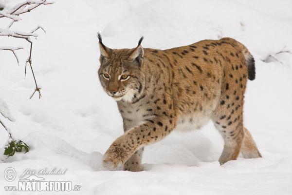 Team Caracal e Serval VS Team  Lince euroasiático e  Pantera nebulosa Lynx-50973