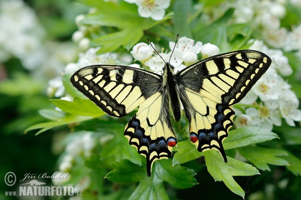 Machaon papillon