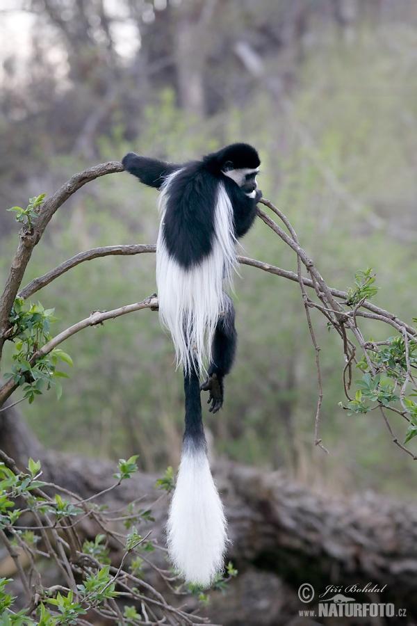 21182 >> Mantled guereza Photos, Mantled guereza Images, Nature Wildlife Pictures | NaturePhoto