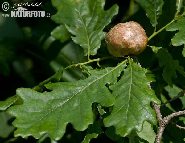 Oak Apple Gall Wasp (Biorrhiza pallida)