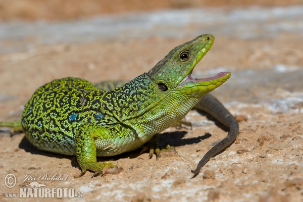 Ocellated Lizard (Lacerta lepida)