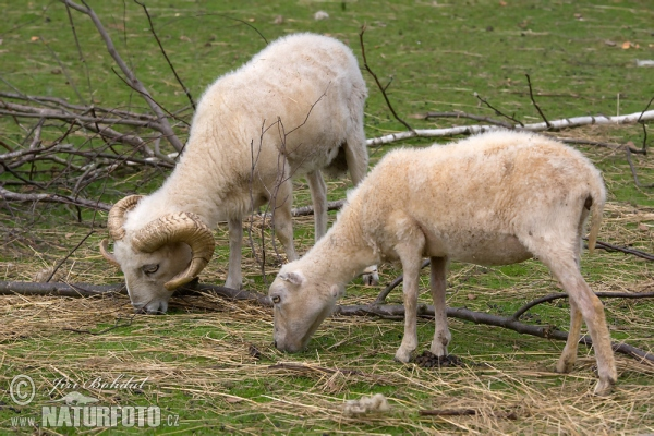 Ouessant Sheep (Ovis orientalis aries Ouessant)