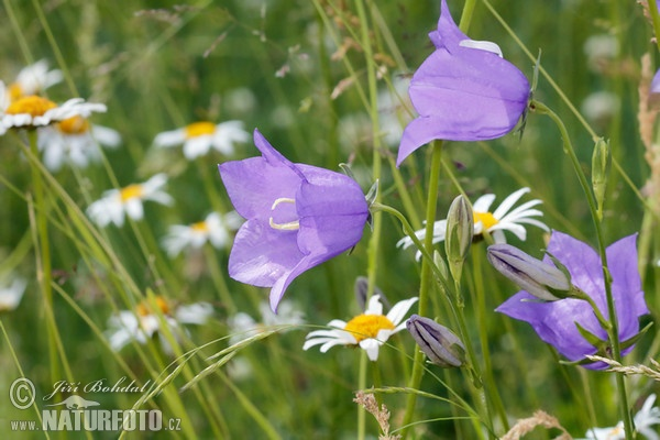 Pach-leaved Bellflower (Campanula persicifolia)