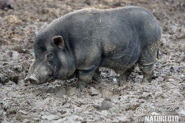 Pot-bellied Pig (Sus scrofa f. domestica)