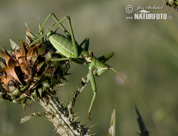 Predatory Bush Cricket (Saga pedo)