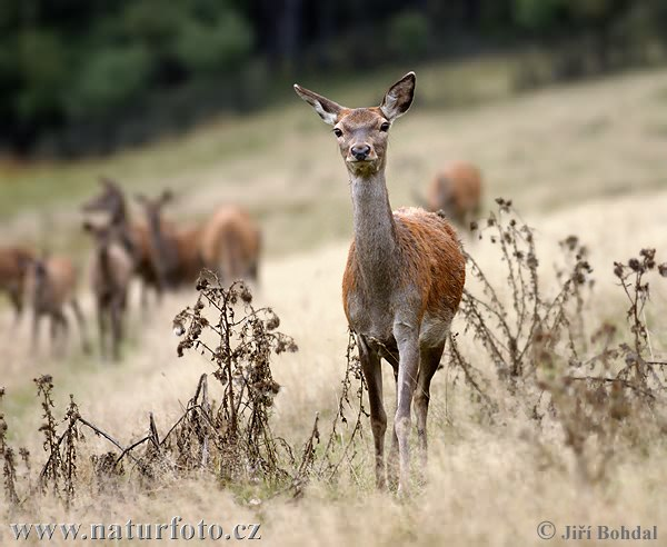 Red Deer - Hind (Cervus elaphus)