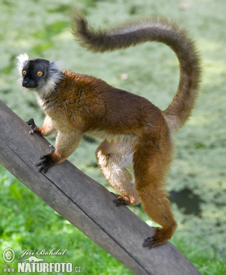 Red-fronter Lemur